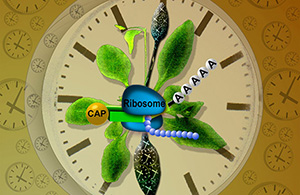 Biological clocks in plants