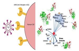 רשת הקשרים של חלבוני נגיף הקורונה עם חלבוני התא המארח