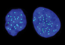 A haploid cell on the left and a diploid cell on the right