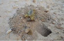טחבן המדבר